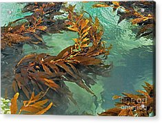 Swaying Seaweed Acrylic Print by Susan Wiedmann