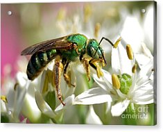Acrylic Print featuring the photograph Sweat Bee by Kathy Baccari