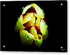 Sweating Tulip Acrylic Print by Kalvin George