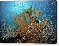 Sweeper Fish (pempheridae Acrylic Print by Jaynes Gallery