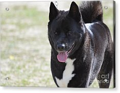 Sweet Akita Dog Acrylic Print