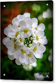 Sweet Alyssum Acrylic Print by Patti Whitten