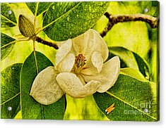 Sweet Bay Magnolia After The Rain Acrylic Print by Lois Bryan