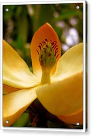 Sweet Bay Magnolia Acrylic Print by Jhoy E Meade