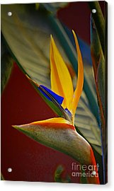 Sweet Bird In Veracruz Acrylic Print