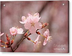 Sweet Blossom Acrylic Print by LHJB Photography
