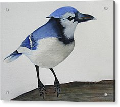 Sweet Blue Jay Acrylic Print by Mary Gaines