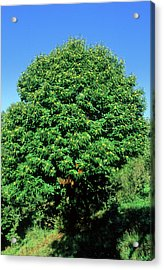 Sweet Chestnut Tree (castanea Sativa) Acrylic Print by Bruno Petriglia/science Photo Library