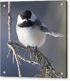 Sweet Chickadee Acrylic Print by John Kunze