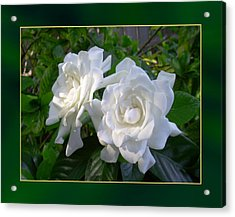 Sweet Gardenia Acrylic Print by Ginny Schmidt