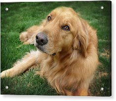 Sweet Golden Retriever Acrylic Print by Larry Marshall