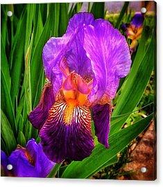 Sweet Iris Perfection Acrylic Print
