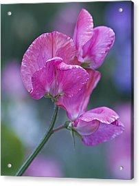 Sweet Pea In Pink Acrylic Print