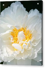 Acrylic Print featuring the photograph Sweet Peony by The Art Of Marilyn Ridoutt-Greene