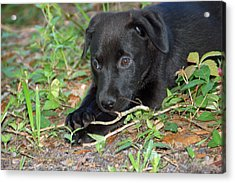 Sweet Puppy Acrylic Print by Aimee L Maher Photography and Art Visit ALMGallerydotcom
