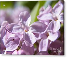 Acrylic Print featuring the photograph Sweet Scent Of Spring by Agnieszka Ledwon