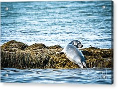 Sweet Seal Acrylic Print by Cheryl Baxter