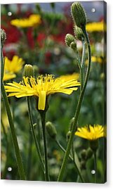 Sweet Suprise Acrylic Print by Bruce Bley