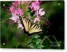 Sweet Swallowtail Acrylic Print by Living Color Photography Lorraine Lynch