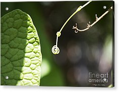 Sweet Tendril Acrylic Print