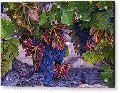 Sweet Wine Grapes Acrylic Print