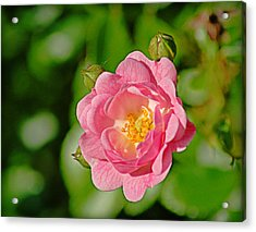 Sweetheart Rose Acrylic Print
