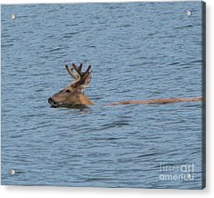 Swimming Deer Acrylic Print by Leone Lund