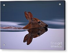 Swimming Fawn Acrylic Print