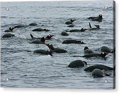 Swimming Gentoo Penguins Acrylic Print