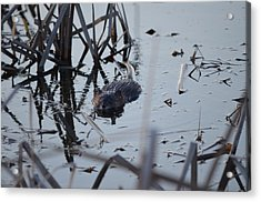 Acrylic Print featuring the photograph Swimming by James Petersen