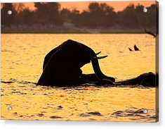 Acrylic Print featuring the photograph Swimming Kalahari Elephants by Amanda Stadther