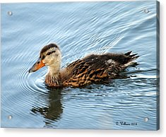 Swimming Mallard Hen Acrylic Print by Dan Williams