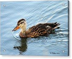 Swimming Mallard Hen Acrylic Print