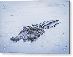 Swimming On A Rainy Day - Alligator Photograph Acrylic Print