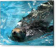 Acrylic Print featuring the photograph Swimming Sea Lion by Kristine Merc