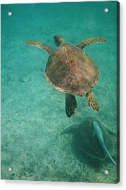Swimming With Turtles Acrylic Print