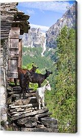 Swiss Goats Acrylic Print