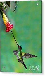 Sword-billed Hummingbird Acrylic Print by Anthony Mercieca