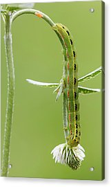 Sword-grass Caterpillar Acrylic Print by Heath Mcdonald
