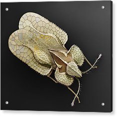 Sycamore Lace Bug Sem Acrylic Print by Albert Lleal