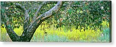 Sycamore Tree In Mustard Field, San Acrylic Print by Panoramic Images