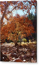 Sycamore Trees Fall Colors Acrylic Print