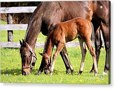 Sychronized Mare And Foal Acrylic Print