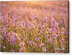 Symphony In Pink Acrylic Print by Anne Gilbert