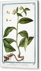 Symphytum Majus Acrylic Print by Rare Book Division/new York Public Library