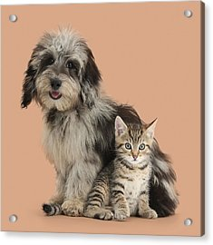 Tabby Kitten And Pup Acrylic Print