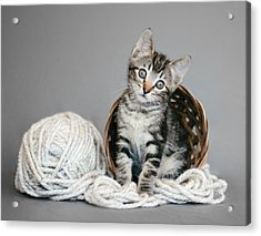 Tabby Kitten And Yarn - Animal Rescue Portraits Acrylic Print