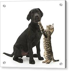 Tabby Male Kitten & Black Labrador Acrylic Print by Mark Taylor