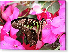 Tailed Jay Butterfly #4 Acrylic Print