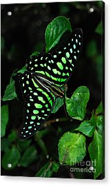 Acrylic Print featuring the photograph Tailed Jay Butterfly by Eva Kaufman